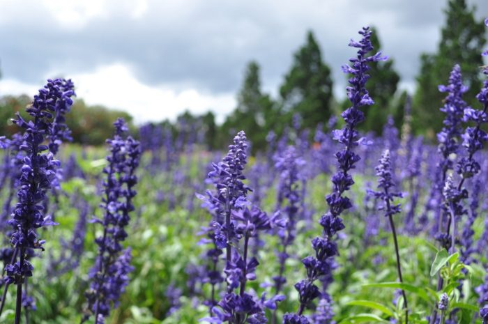 picture showing the flowers of lavender plants used to make natural sleeping aids
