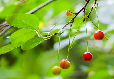 cherries for insomnia growing on tree