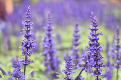 photo of lavender plants growing outside